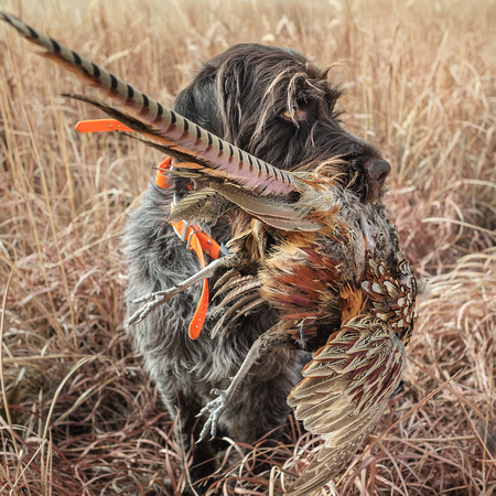 Pheasant hunting with a Wirehaired Pointing Griffon, Kansas
